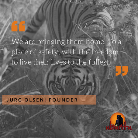 Why tigers cannot be returned to their countries of origin.