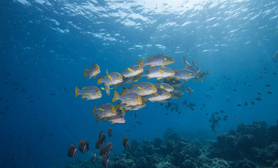 Hurawalhi_Maldives_Oriental_Sweetlips-10