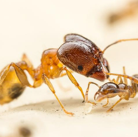 Big Headed Ants