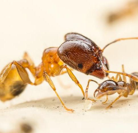 Big Headed Ants