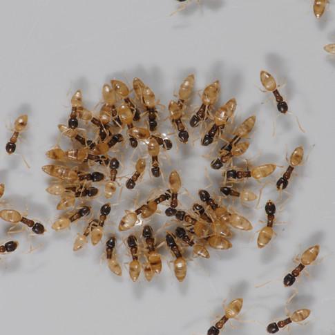 Ghost Ants (Sugar Ants)