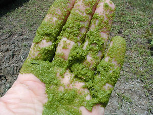 pond-algae4.jpg