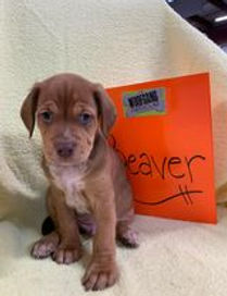 Beaver2 - Rebecca Benedict.jpg