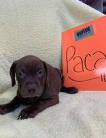 Paca2 - Rebecca Benedict.jpg