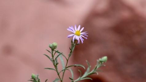Sedona flower.jpg