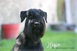 Hope schnauzer moyen noir