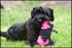 Lola, schnauzer moyen noir