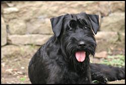 Lola schnauzer moyen noir