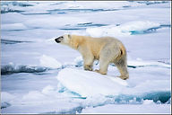 polar bears climate change.jpg