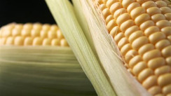 It's Corn on the Cob Day in the U.S.A!