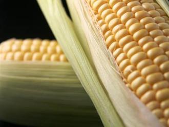 Kenya to Lift Ban on GMO's