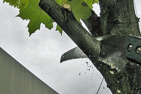 Beskära Äppelträd, Trädbeskärning i Gävle, Sandviken, söderhamn, hudiksvall, nordanstig.