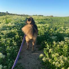 Vixey on a walk