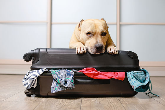American Staffordshire terrier dog ready to go on a trip this summer vacation. Dog  a sitt