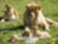 Lion-21.jpg