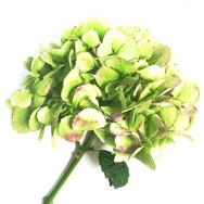Hydrangea Study Green