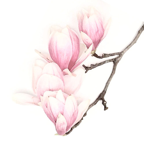 Magnolia Study 1