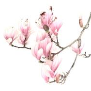 Magnolia Blossom 2