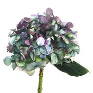Hydrangea Study Purple