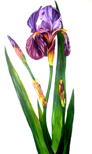 iris-flower-photo-realistic-painting