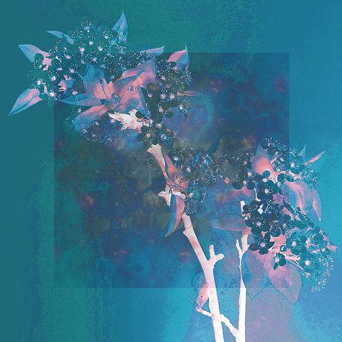 Bradford Pear Blue/Pink