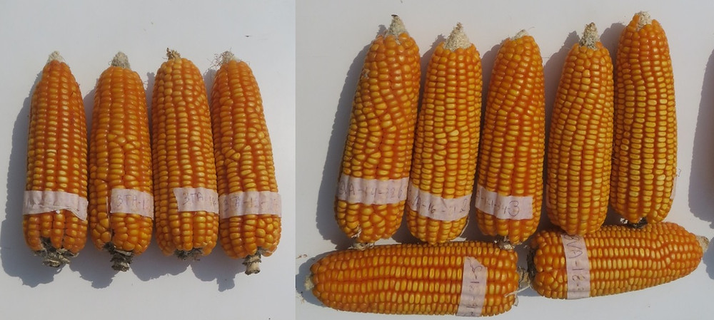 Comparação milhos com dose adequada e em excesso de nitrogenio.jpeg