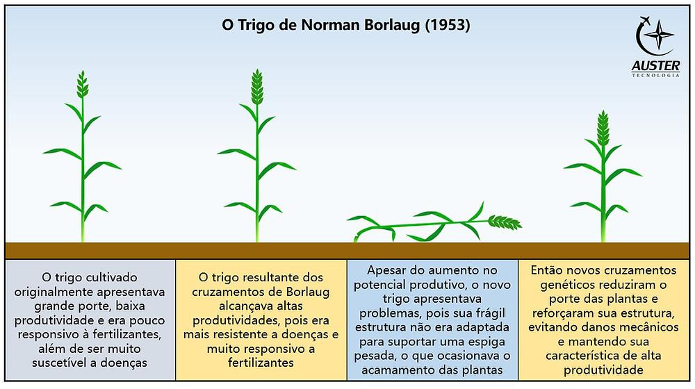 A evolução das variedades desenvolvidas por Borlaug - Auster Tecnologia