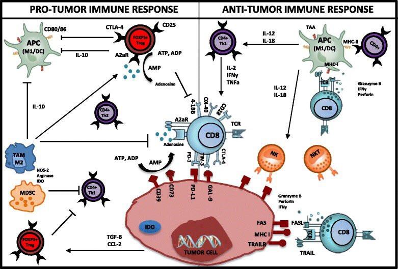 Рак имунный ответ