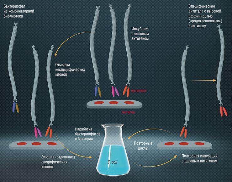 Принципиальная схема процедуры отбора высокоспецифичных рекомбинантных антител к конкретной мишени-антигену из комбинаторной библиотеки фагового дисплея на основе нитчатых бактерифагов. По: (Тикунова, Морозова, 2009)