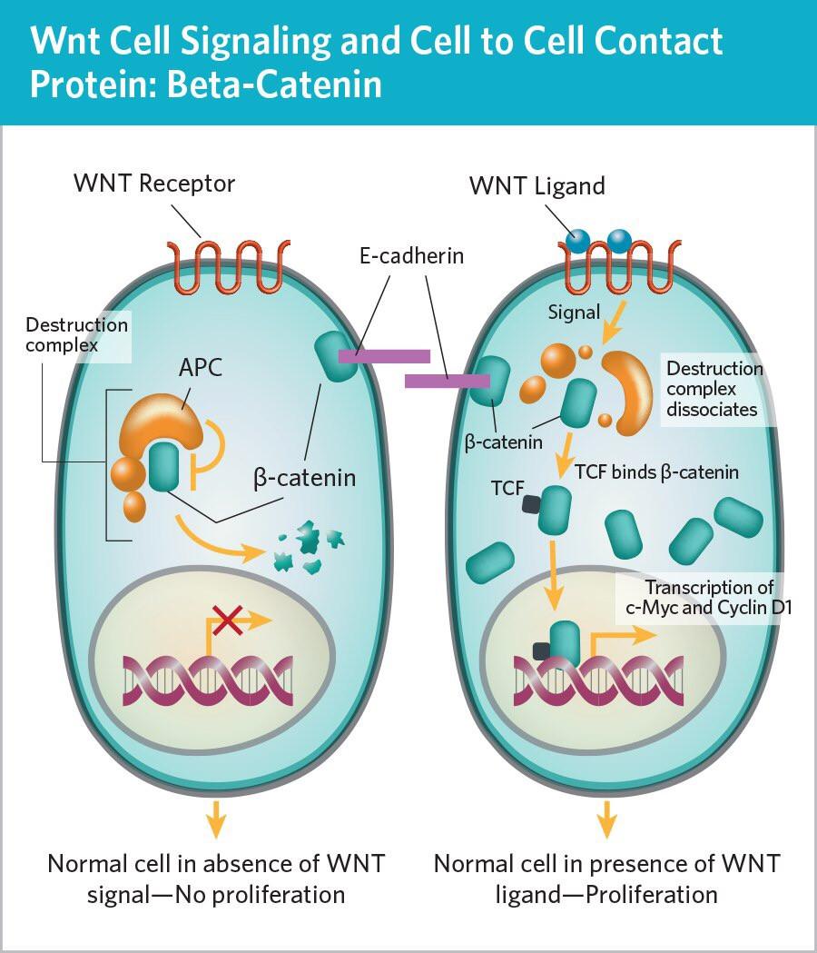 WNT сигнальный путь, семейный аденоматозный полипоз, наследственный рак