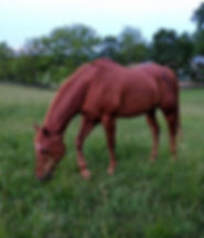Retired horse Seiko grazing in the Upper Pasture at full care horse retirement farm