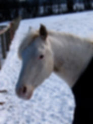 Retired at age 4, POA pony Otis has led the good life at Orchard Equine Retirement since 2006