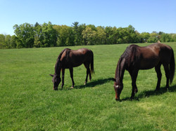 Retired horses grazing at Orchard Equine Retirement