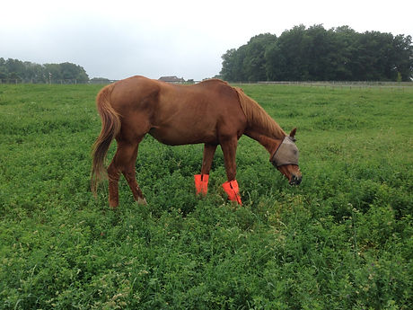 Retired Mare CoOp, colic surgery survivor grazes in our front pasture seeded in alfalfa