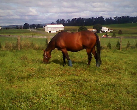"Retired gelding & ""kissing spine "" sufferer Merlin enjoys his retirement on PA horse retirement farm"