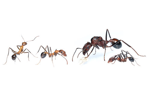 Novomessor cockerelli (Desert Harvester Ant)