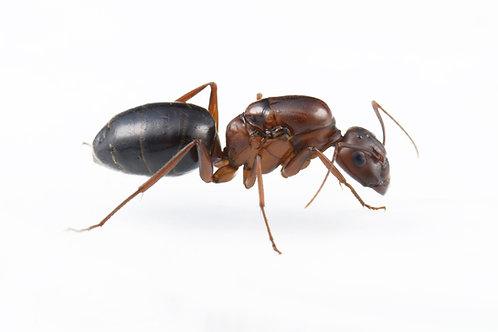 Camponotus turkestanicus