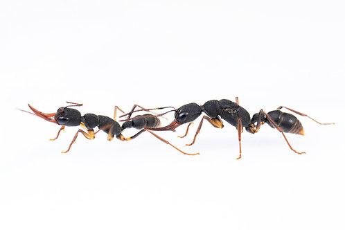 Harpegnathos venator (Primitive Jumping Ant)