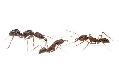 Odontomachus monticola (Trap Jaw Ant)