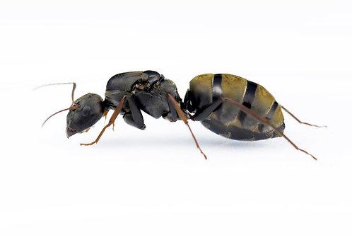 Camponotus cinctellus