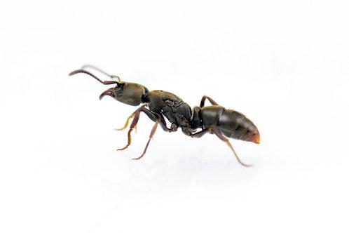 Ectomomyrmex annamitus