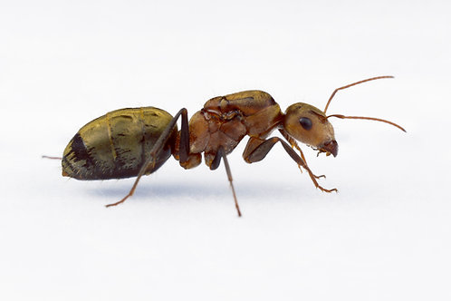 Camponotus rosariensis (Golden Tailed Sugar Ant)