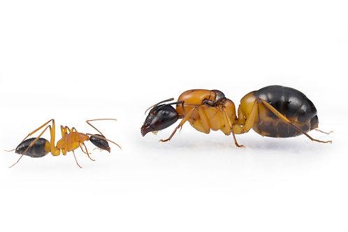 Camponotus consobrinus (Banded Sugar Ant)