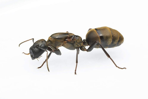 Colobopsis leonardi (Gate-Keeper Ant)