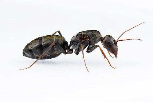 Camponotus cf. vestitus