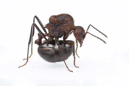 Myrmicaria natalensis