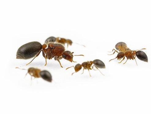 Meranoplus bicolor (Furry Shield Ant)