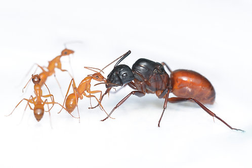 Camponotus US-CA02