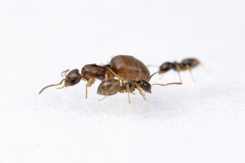 Plagiolepis pygmaea