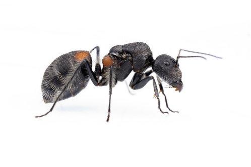 Camponotus wasmanii mutilarius (Sweet Aroma Ant)